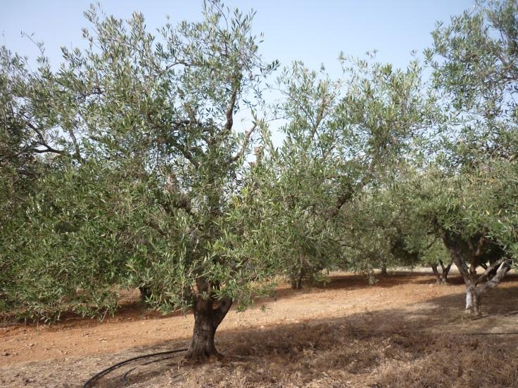 Obrázek olivovníku z Kréty